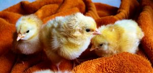 Chicks hatch at Hopscotch Nursery